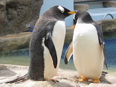 20100324_ジェンツーペンギン1