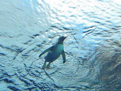 20100324_ペンギン水中2