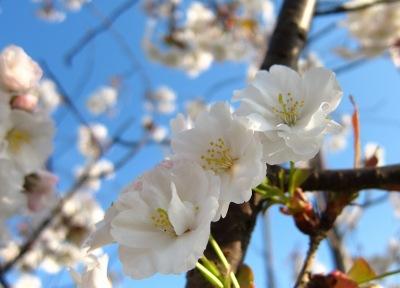 20100403_桜1