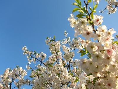 20100403_桜2