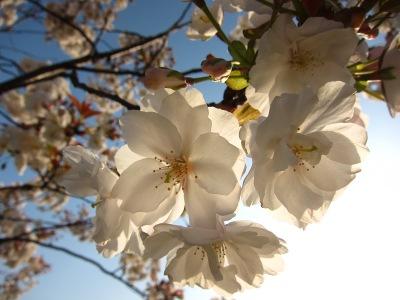 20100403_桜3