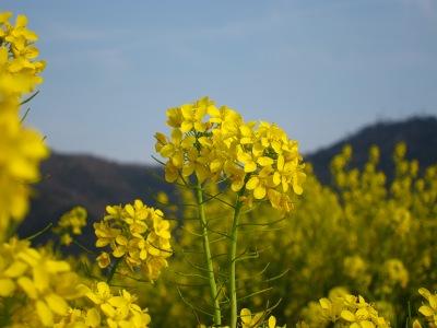20100404_菜の花畑7