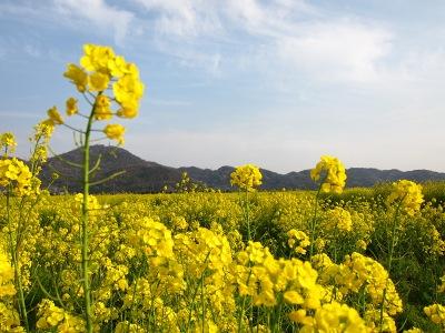 20100404_菜の花畑9