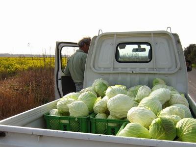 20100404_キャベツ収穫
