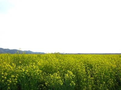 20100404_菜の花畑1-2