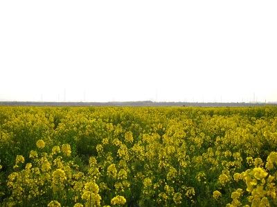 20100404_菜の花畑1-3