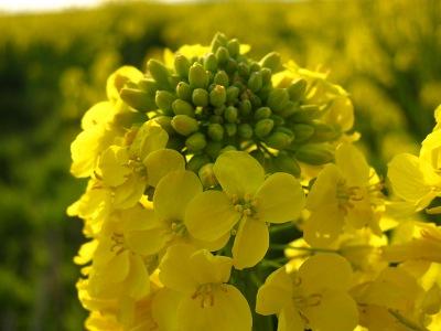 20100404_菜の花畑5