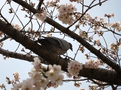 20100404_後楽園の桜4