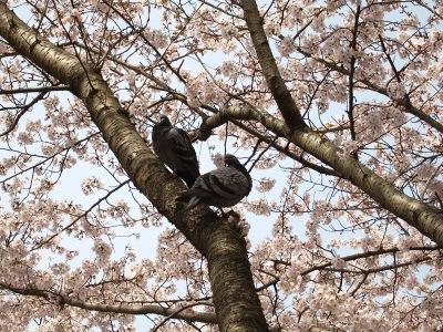 20100404_後楽園の桜5
