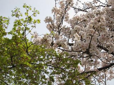 20100404_後楽園の桜6