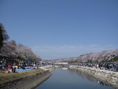 20100404_旭川の桜1