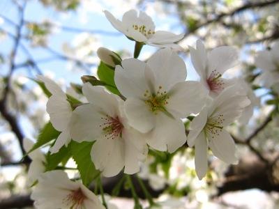 20100404_旭川の桜2