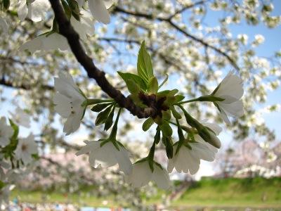 20100404_旭川の桜3