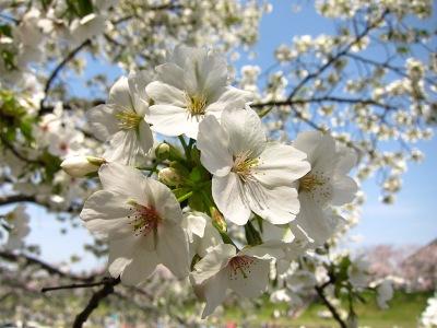 20100404_旭川の桜4