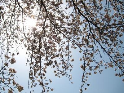 20100404_旭川の桜5