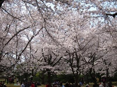 20100404_後楽園の桜1