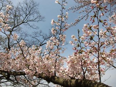 20100404_後楽園の桜2