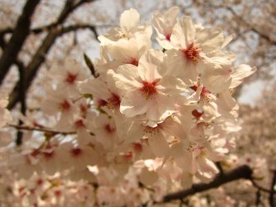 20100404_後楽園の桜3