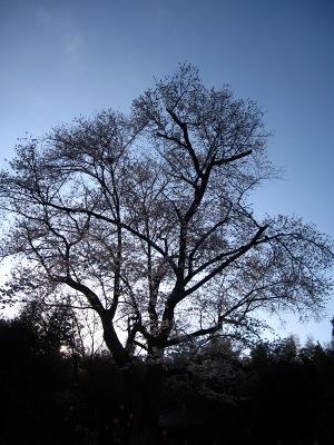 20100410_モチヅキ桜1