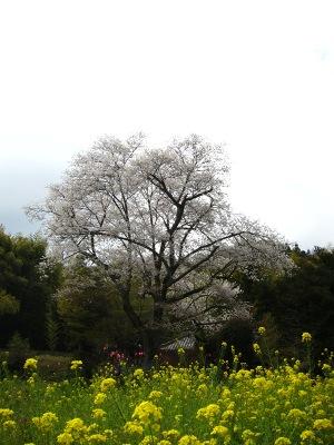 20100410_モチヅキ桜2