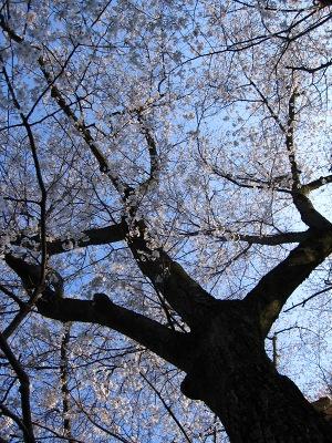 20100410_モチヅキ桜3
