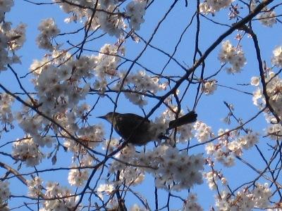 20100410_モチヅキ桜4