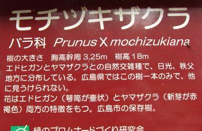 20100410_モチヅキ桜5