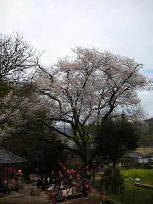 20100410_モチヅキ桜6