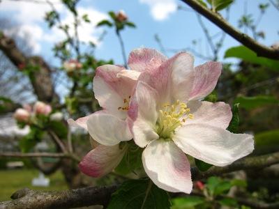 20100501_ニュートンのリンゴの花
