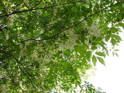 20100508_新緑と白い花