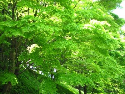 20100508_新緑モミジ