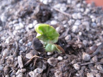 20100511_0503アサガオの芽1