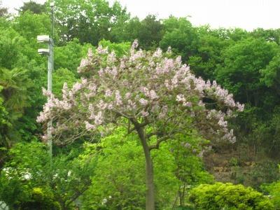 20100518_薄紫の花の木