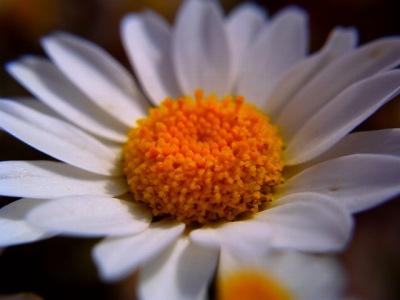 20100604_マーガレット