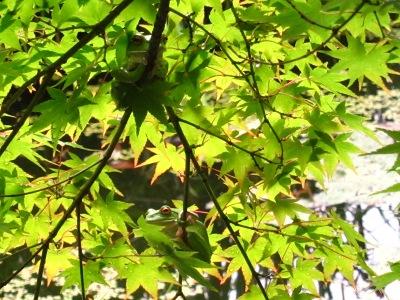 20100613_モリアオガエル2