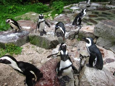 20100623_松江VPペンギン1