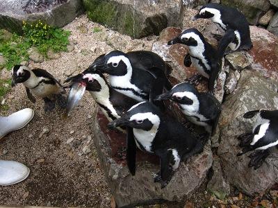 20100623_松江VPペンギン2