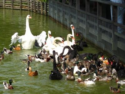 20100623_松江VP水鳥池2