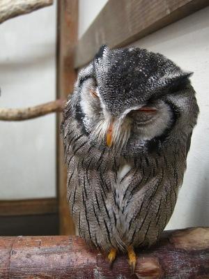 ミナミアフリカオオハノコズク