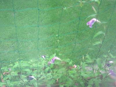 20100714_アサガオ(雨)