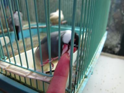 20100724_桜文鳥2