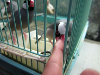 20100724_桜文鳥3