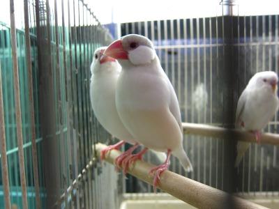 20100724_シナモン文鳥
