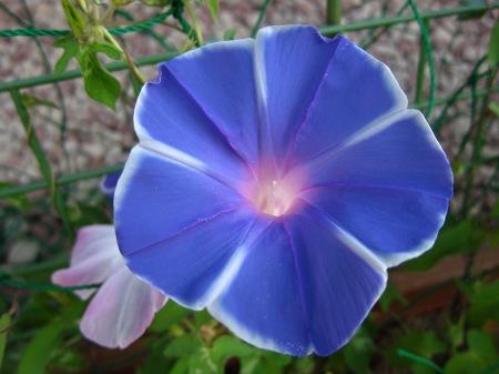 20100805_アサガオ(白線薄青)