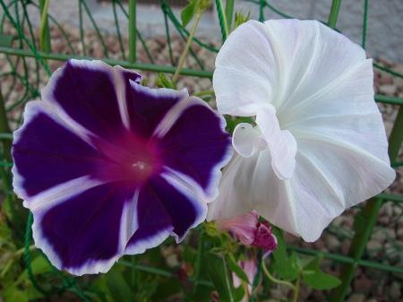 20100809_アサガオ(白線濃紫と白)
