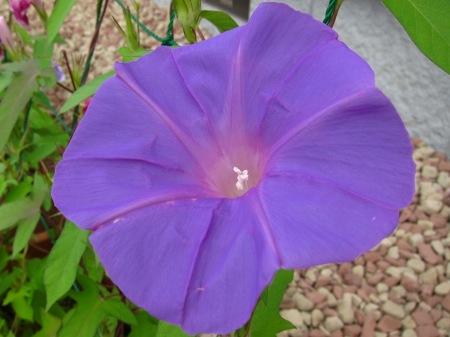 20100721_アサガオ(薄紫)