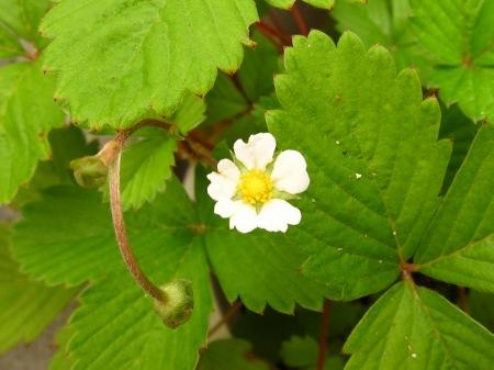 20100813_ワイルドストロベリーの花