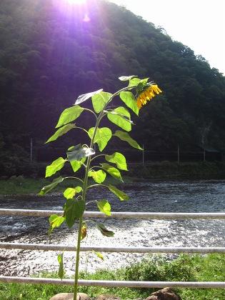 20100815_滝のヒマワリ