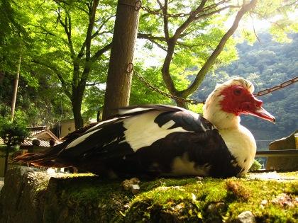 20100815_滝に住む鳥2