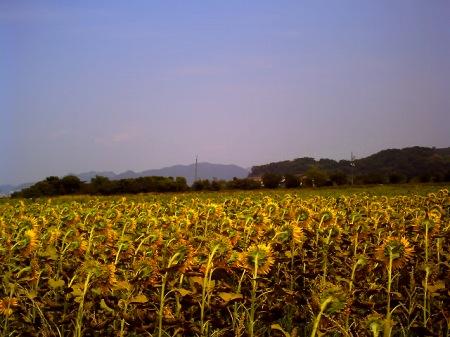 20100822_笠岡のひまわり2-v